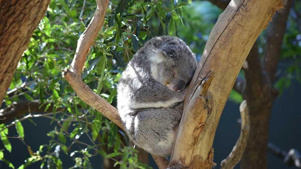 koala sleeping on tree